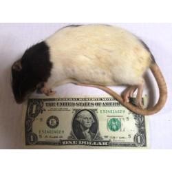 Live Rat Large