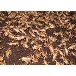 100 Ct Crickets