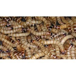 100 Ct Superworms