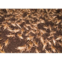 1000 Ct Crickets