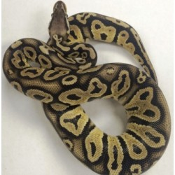 Pastel Super Satin Male