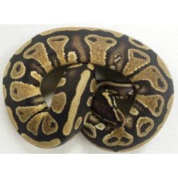 Yellowbelly Satin Male