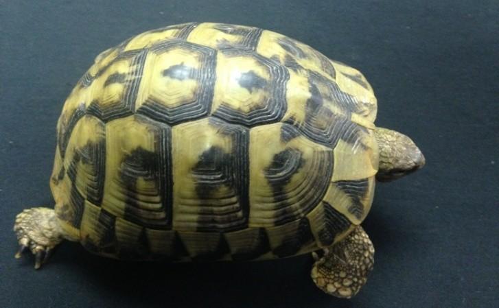 Reeves Tortoise