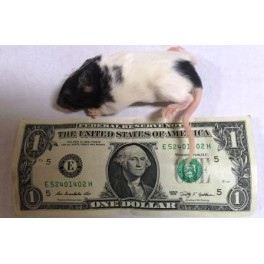 Frozen Rat Pup