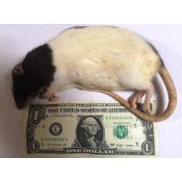 Frozen Rat Large